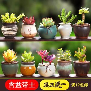 多肉植物组合盆栽老桩1元熊童子含盆带土陶瓷稀有品种玉露爆新款