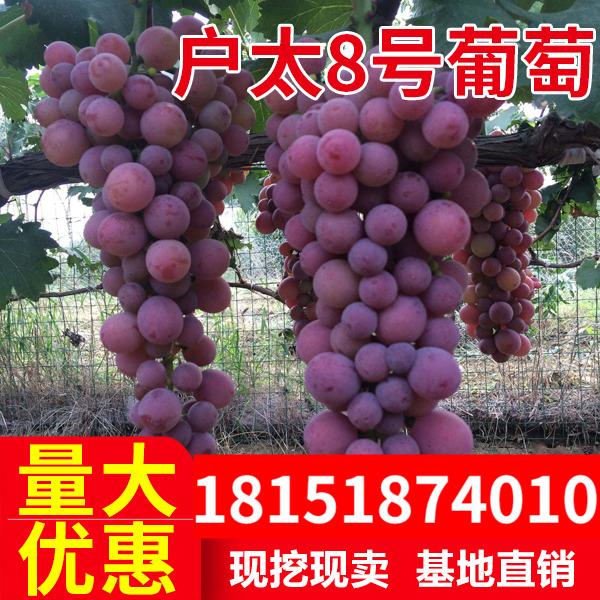 户太8号葡萄苗 户太9号10号冰葡萄 户太八号葡萄树苗南方北方种植