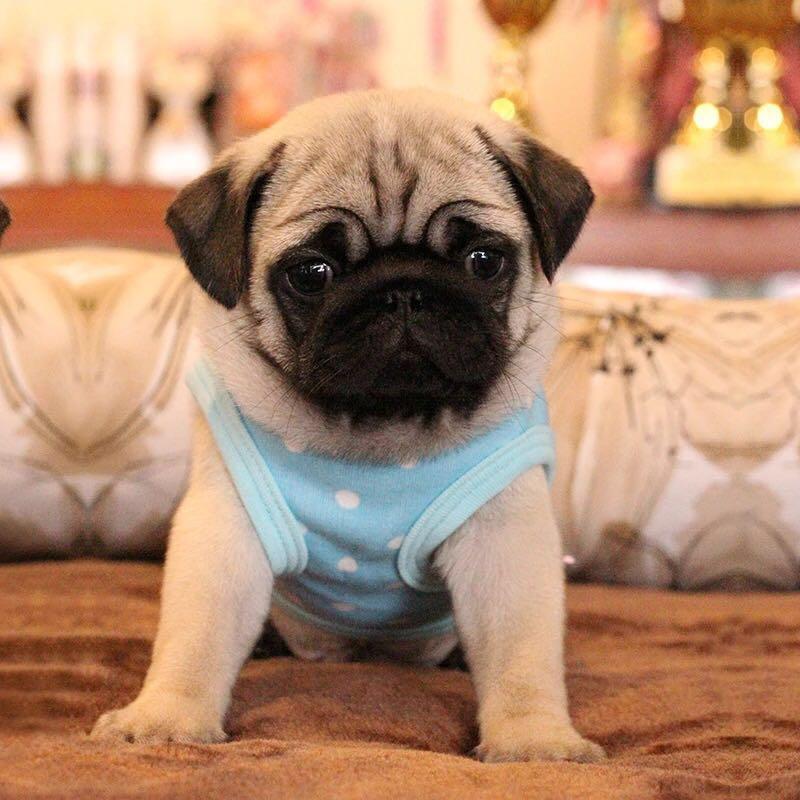 纯种巴哥犬哈巴狗幼犬短腿巴哥幼犬活体小型犬八哥犬家养宠物小狗