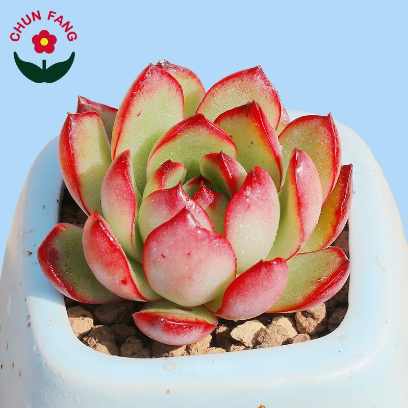宝莉安娜多肉植物红边系列净化空气吸甲醛阳台室内绿植组合盆栽