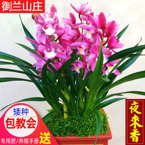 兰花盆栽【夜来香】矮种室内植物鲜花