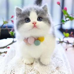 矮脚猫曼基康短腿猫纯种幼猫英短蓝白活体宠物猫咪上海可实地挑选