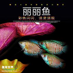 五彩丽丽鱼红丽丽蓝丽丽鱼花丽丽小型草缸热带冷水淡水活体观赏鱼
