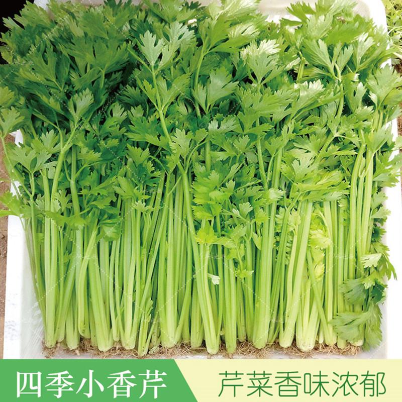 四季小香芹种籽蔬菜种子四季播农家家庭菜农味道香芹菜种子蔬菜籽