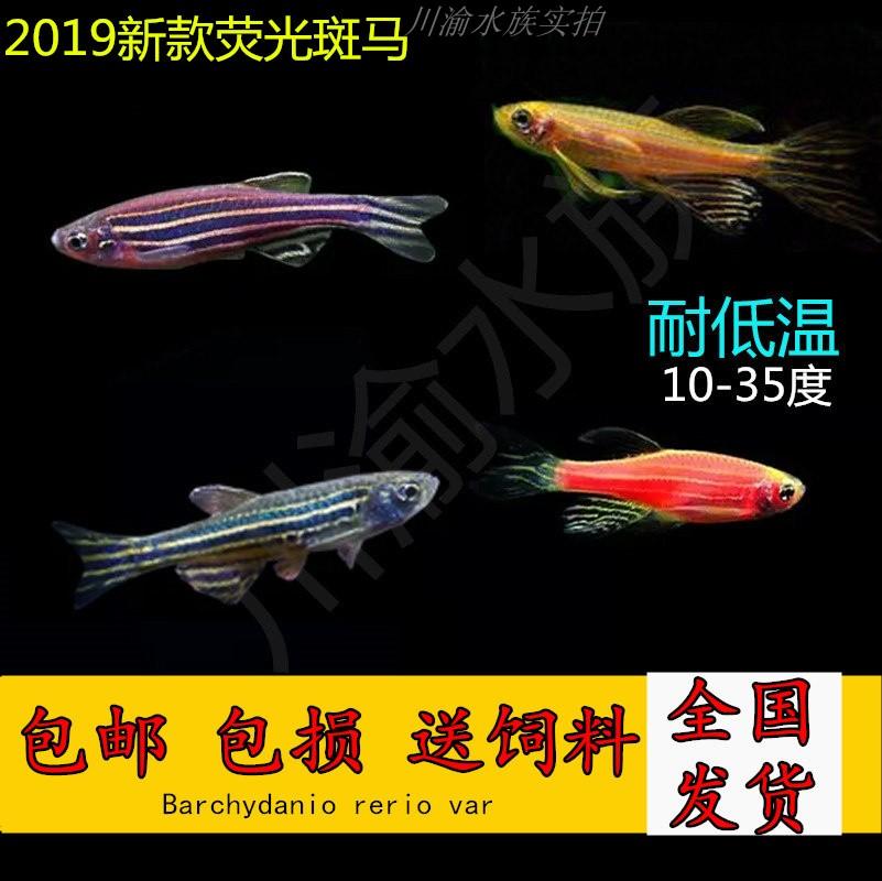 包邮 斑马鱼生态瓶冷水鱼斑马鱼红绿灯淡水鱼小型热带观赏鱼活体