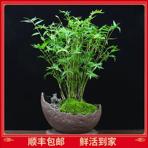 米竹苗盆栽凤尾竹盆景庭院竹子室内植物客厅净化空气四季常青绿植