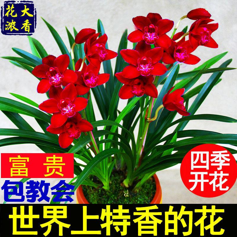 【大花苞兰花苗】浓香型兰花盆栽室内绿植除甲醛花卉四季开花植物