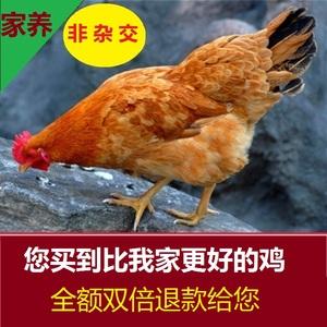 领5元券购买大别山农家散养土鸡草鸡,这是老母鸡孵出来的鸡,月子鸡乌骨鸡蛋