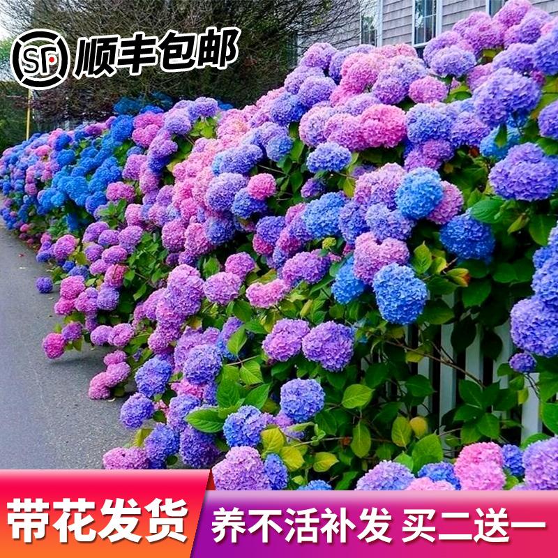 绣球花苗无尽夏盆栽老桩室内阳台庭院八仙特大四季开花卉植物耐寒