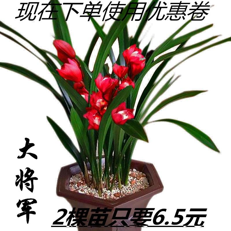 兰花盆栽兰花苗墨兰室内阳台花卉植