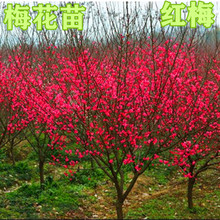 Grafting plum saplings red plum, wintersweet, green plum stump, bonsai, beauty plum, elm, leaf, plum saplings, garden, bonsai, plum saplings