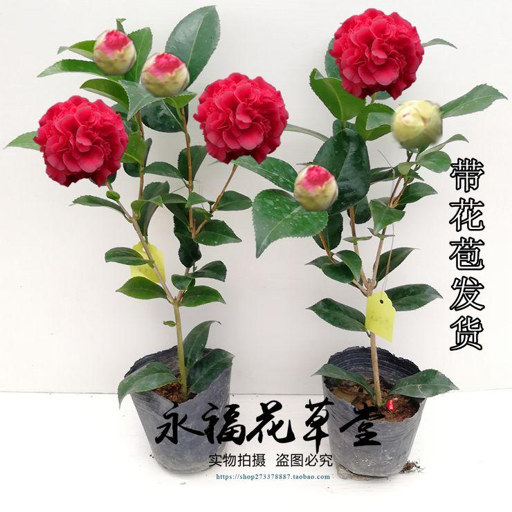 大型茶花带香味山茶花克瑞墨大牡丹室内盆栽花卉福建阳台植物热卖