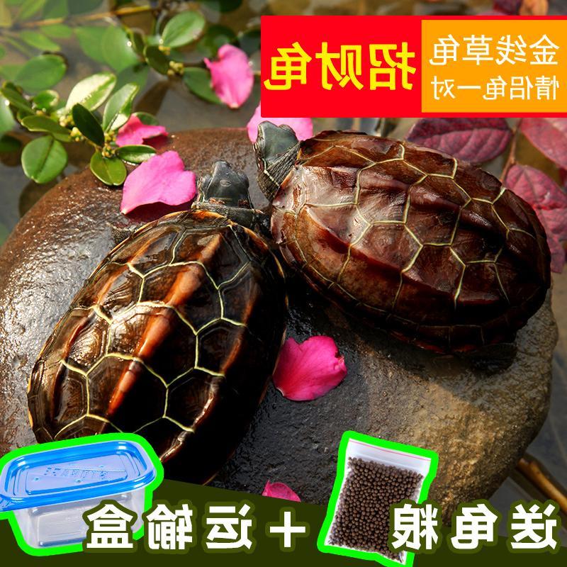 Молодой черепаха китай трава черепаха для взрослых мясо еда оригинал семена один масса домашнее животное черепаха живая тело счастливый фэн-шуй городской дом поплавок тайвань