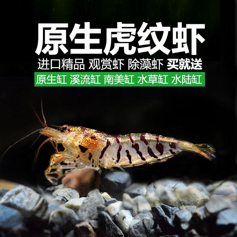 买一送5观赏虾套餐虎纹虾除藻虾虾