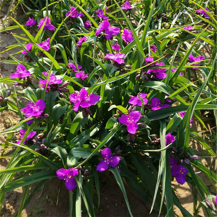 Fine horticulture red flower, purple dew grass root seedling, red four seasons cultivation, flowering period from April to November