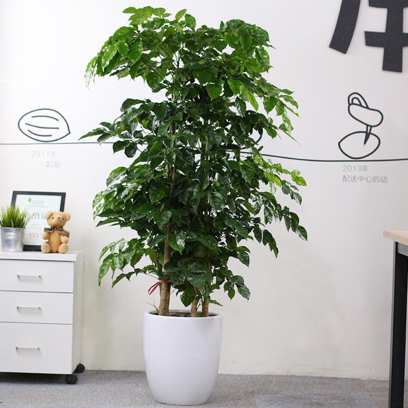 室内大型客厅办公绿植花卉盆栽 观叶绿色植物 幸福树 绿宝 吸甲醛
