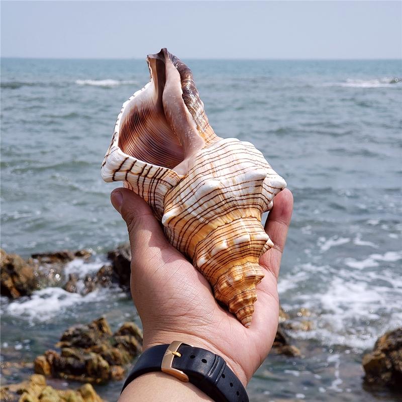 天然赤旋螺羊角螺超大海螺贝壳海星鱼缸造景大法螺号角螺居家摆件 Изображение 1