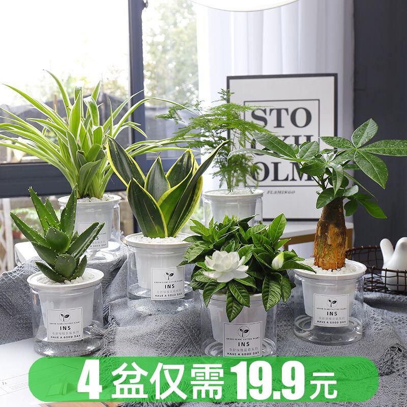 绿萝发财树办公室内好养绿植桌面小盆栽花卉吊兰水培多肉植物芦荟