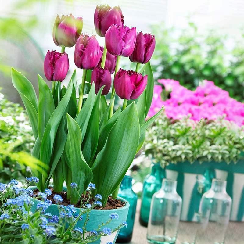 Цветочные луковицы Артикул 600929268483