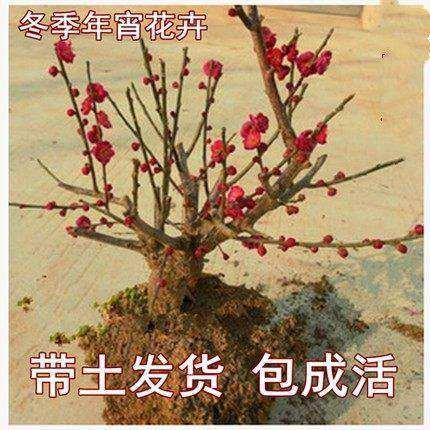 四季梅花盆栽老桩树苗腊梅红梅盆景带花苞耐寒花卉植物室内