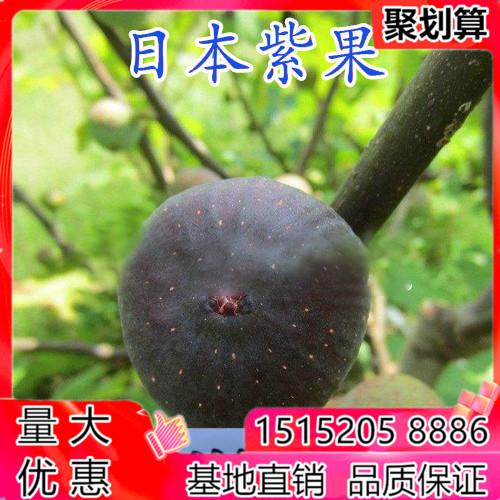 日本紫果イチジク果物の苗木盆地は南の北方を植えてその年の庭のベランダを植えて生きます。