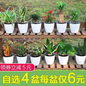 领5元券购买吊兰盆栽室内吸除甲醛虎皮兰发财树