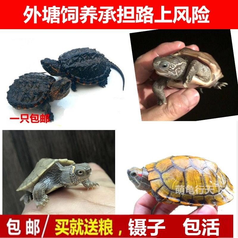 宠物苗情侣草龟小观赏龟巴西龟苗小鳄龟鳄鱼龟彩色乌龟 活 的 小10-18新券