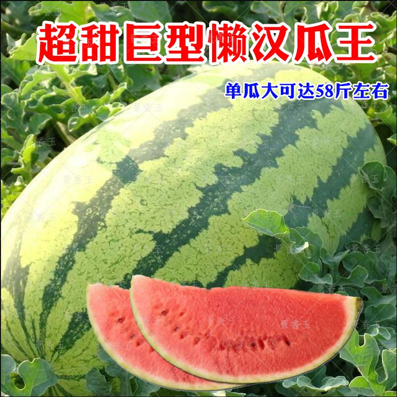 麒麟8424西瓜种子特大高产甜王懒汉巨型种籽早熟四季蔬菜水果种孑