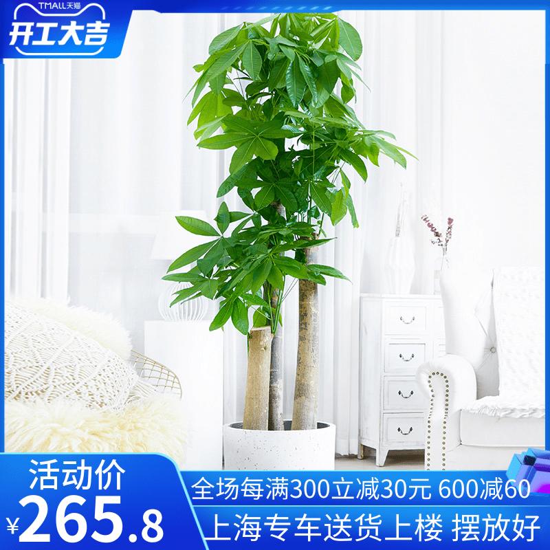 梦邦步步高盆栽植物室内客厅发财树