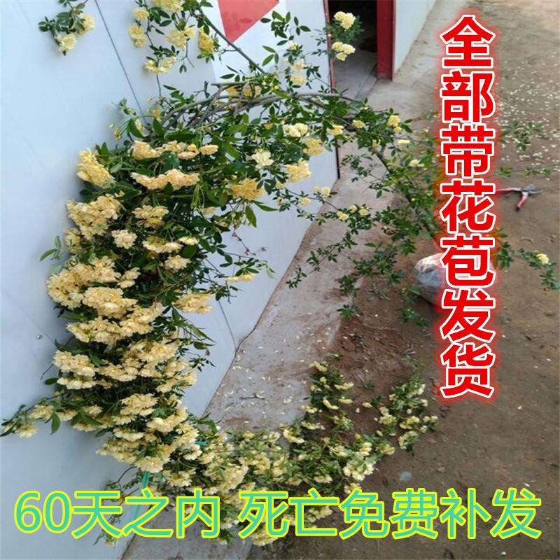 木の香の苗木の庭のベランダは藤の植物のバラの藤に登ります。
