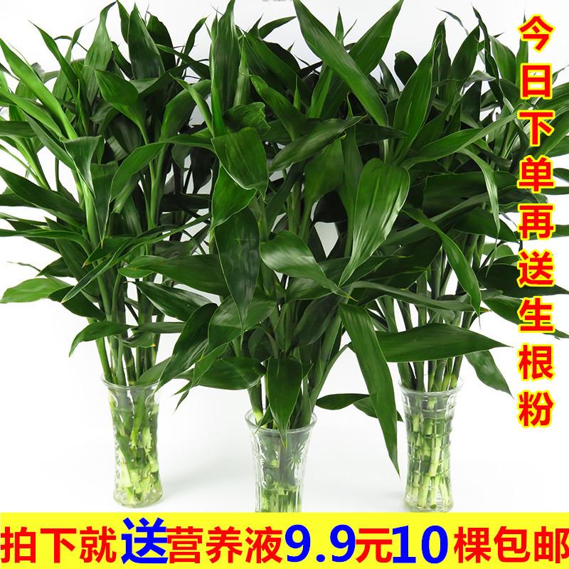 室内水培植物富贵竹桌面观叶盆栽转运竹大叶竹四季常青观音竹绿植