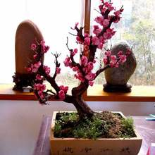 Plum blossom potted old pile potted landscape red plum and wintersweet saplings good for keeping flowers and cold resistant plants indoor balcony garden saplings