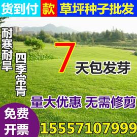 草坪种子四季青护坡草籽高羊茅狗牙根黑麦草耐践踏庭院绿化草种子图片