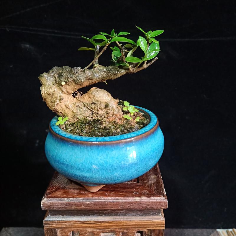小叶栀子花微型盆景老桩矮霸水横枝小品树桩迷你掌上桌面盆栽花卉图片
