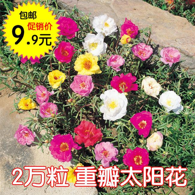 2万粒太阳花重瓣混色种子松叶牡丹花草种子室内阳台盆栽四季种子