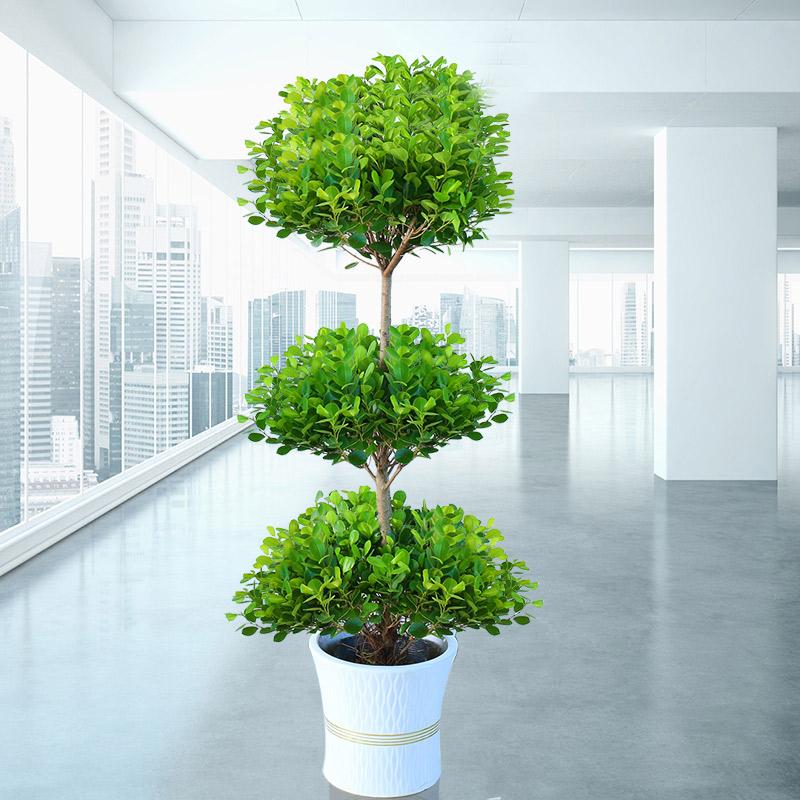 大型盆栽植物摇钱树发财树金钱榕客厅办公室绿植招财树开业盆栽,可领取10元天猫优惠券