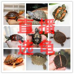 直播选龟专用 剃刀麝香果核红脸巨头墨西哥头盔火焰沼泽西非蛋龟