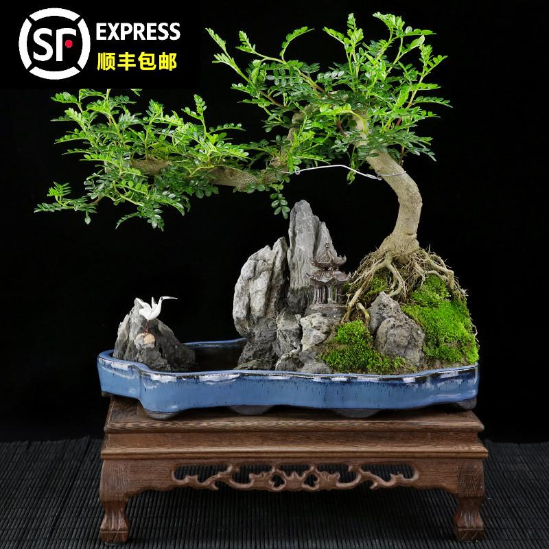 清香木悬崖式树桩山石造型盆景室内桌面大植物胡椒木艺术盆栽送礼