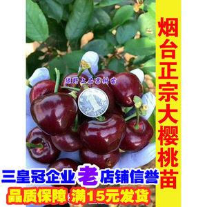 嫁接矮化樱桃树苗车厘子苗果树盆栽地栽大樱桃苗北方南方种植品种