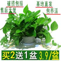 绿萝盆栽室内花卉绿植物长藤大叶盆四季常绿水培土养办公客厅绿箩