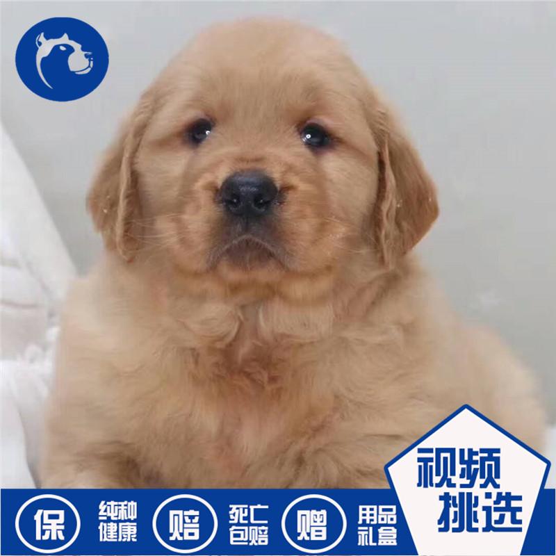 纯种金毛犬幼犬活体宠物狗狗双血统寻回犬导盲犬猎犬家养温顺听话