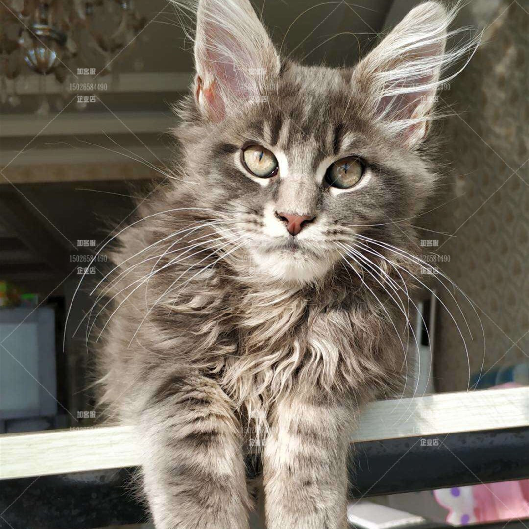 Maine live giant cat purebred domestic large Silver Tiger spot Norwegian deep forest cat Kuhn cat for sale