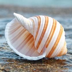 琴螺天然贝壳海螺多肉花盆摆件道具卷贝鱼寄居蟹替换壳鱼缸造景