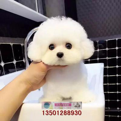 比熊犬纯种幼犬出售活体宠物狗狗幼犬迷你型白色比熊小狗北京犬舍