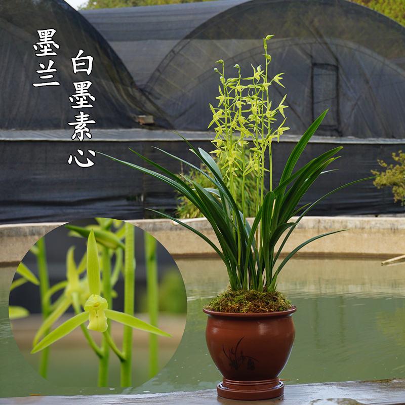 宸晟兰艺兰花苗墨兰素心白墨兰草花卉盆栽阳台室内桌面观花植物