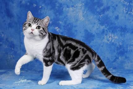 【种猫展示】美国短毛猫加白 起司猫种公 CFA赛猫GC冠军 幼猫预定