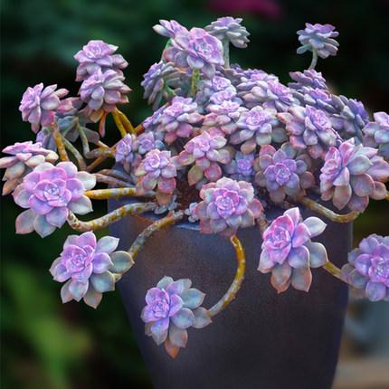紫乐好养悬崖大株造型老桩一物一拍多肉植物群生包邮盆栽向阳派