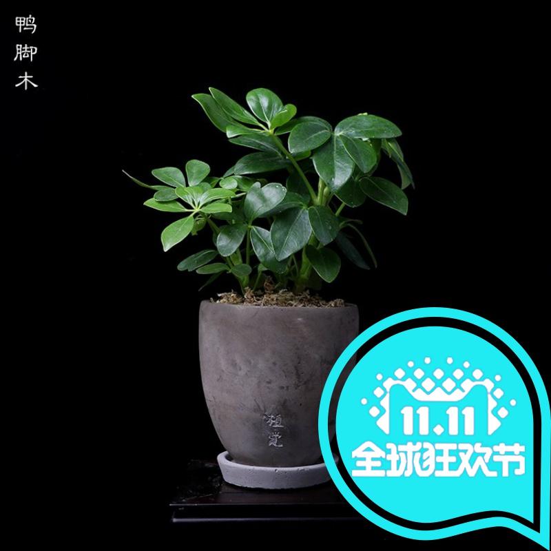 日本购蕨类植物绿植办公室绿植【圆盆】苔藓室内桌面盆栽水泥系列
