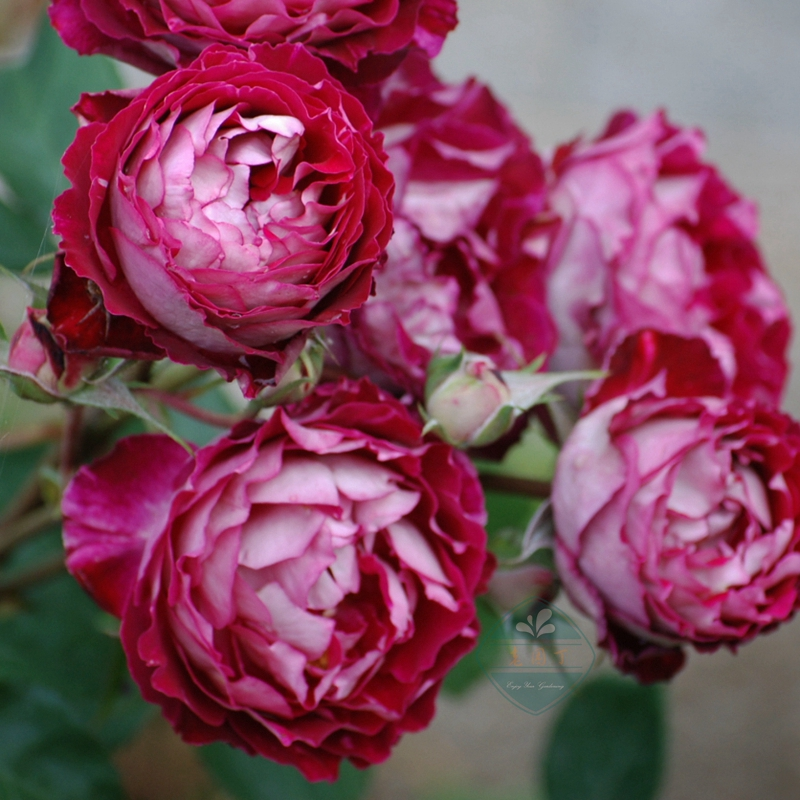 Dr. ouyuemasad French large flower shrub cut flower two color rose seedling rose seedling balcony potted