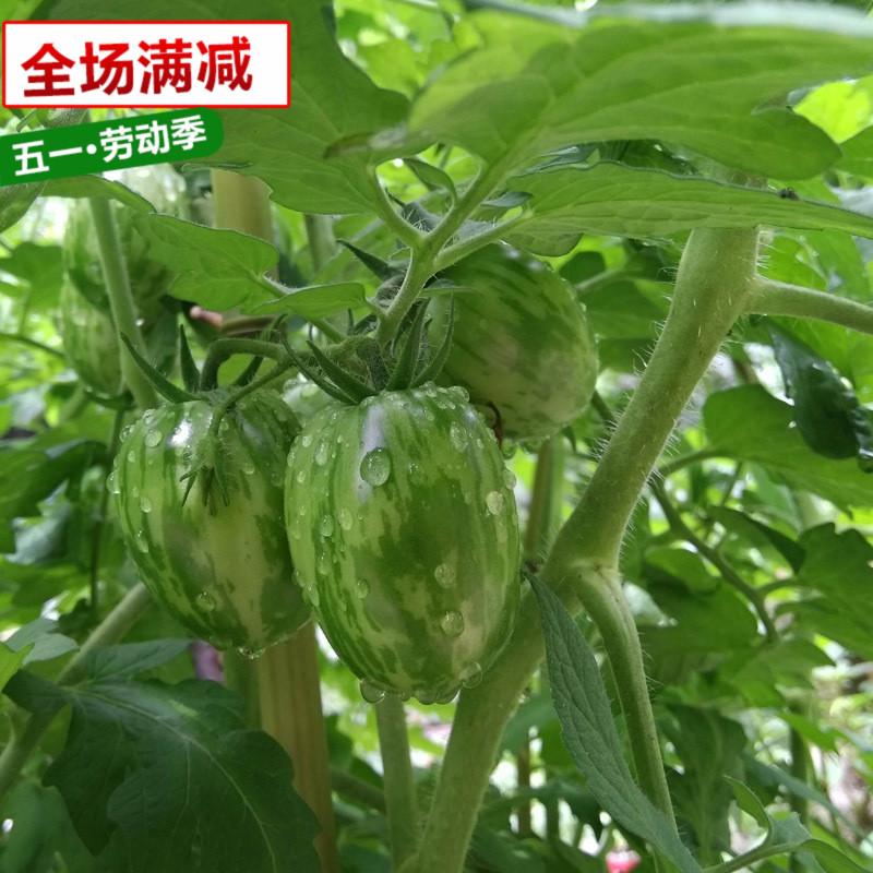 贼不偷绿圣女果阳台庭院春夏四季盆栽樱桃西红柿小番茄种子苗包邮
